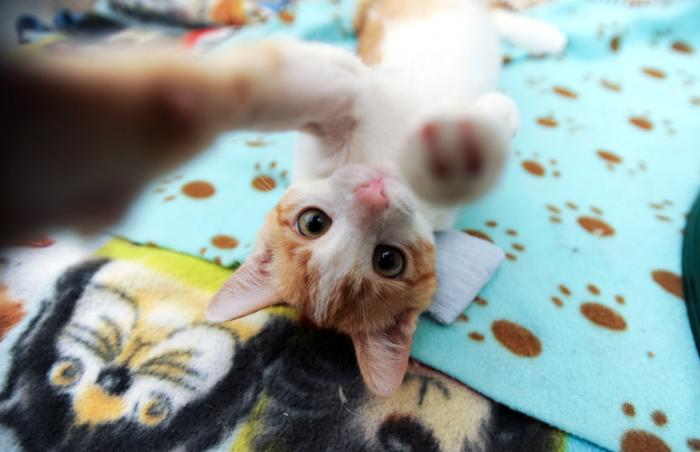 Cara the Creamsicle-colored kitten who had distemper now loves to play