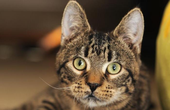 Cotton the tabby kitten with cerebellar hypoplasia (CH)
