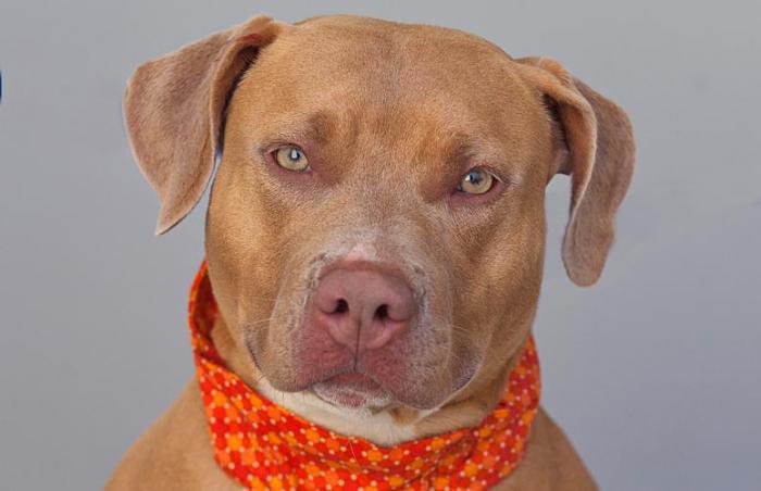 Pit bull terrier service dog named Chata