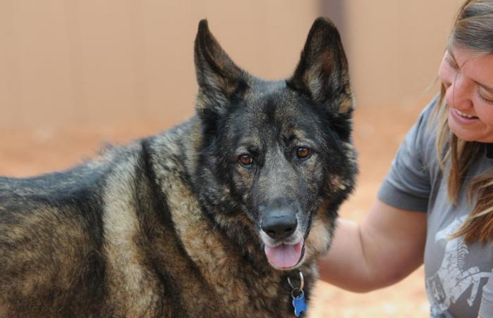 Chieftain the senior German shepherd dog who has separation anxiety