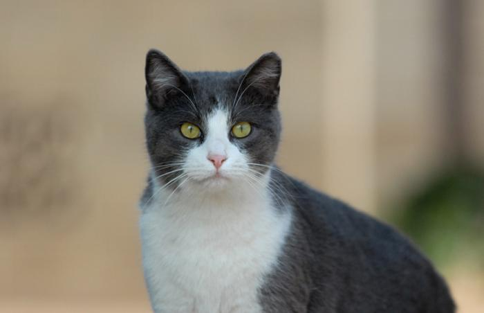 White and gray feral cat