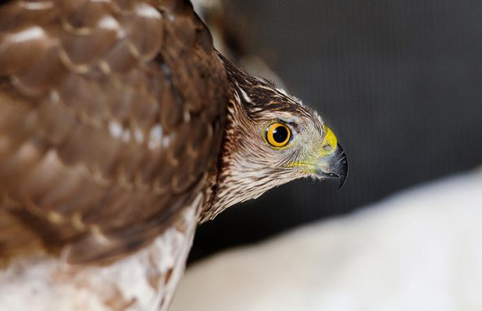 Cooper's hawk who was rescued