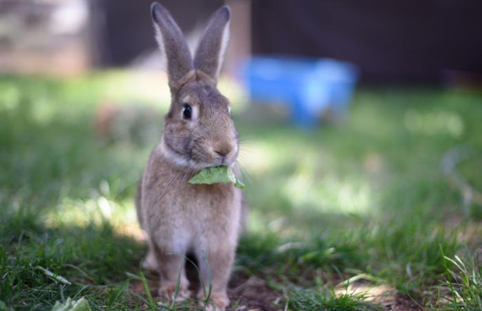 MacGruber the bunny looks wild like a cottontail rabbit but he is not
