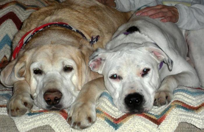 Shay the pit bull dog (right) adopted from Davis County Animal Care and Control with her new canine sibling