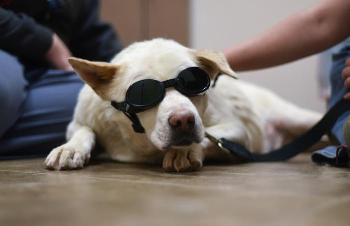 Kaiser, a white shepherd mix, receiving a laser treatment