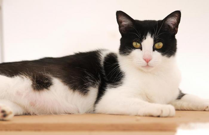 Dutchess the tuxedo cat who was rescued along with her litter of kittens