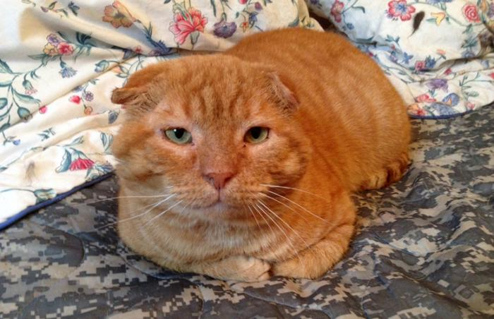 Gepetto the cat who looks like a Scottish Fold