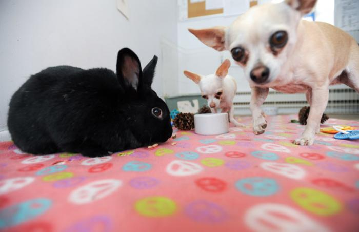 Girly Girl the office bunny with SweetPea and Xena the Chihuahuas