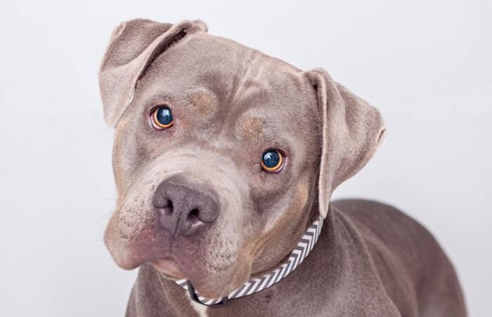 Roxy the pit bull dog who has connected well with a boy who has autism