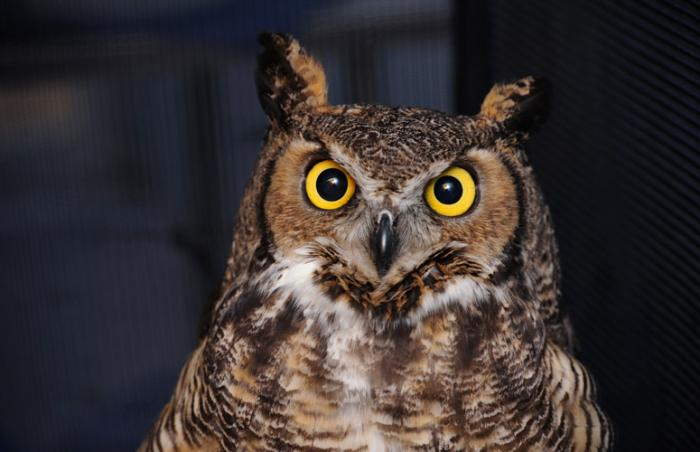 Great horned owl who is being rehabilitated at Best Friends Animal Sanctuary in Southern Utah