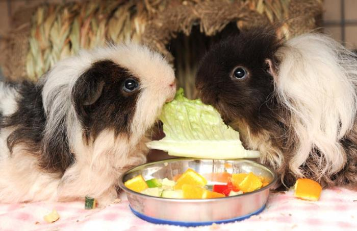 Furby and Chewy the guinea pigs