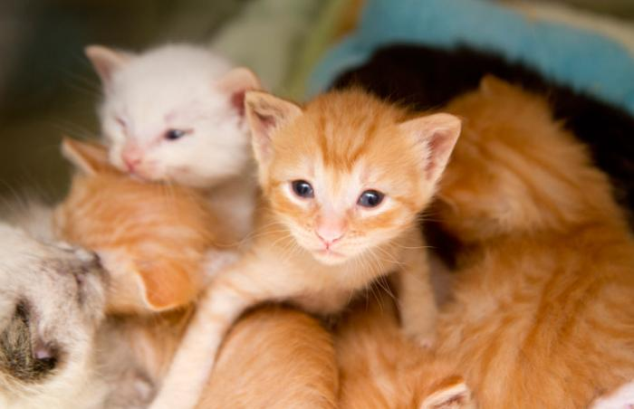 Caring for abandoned kittens like this litter of white and orange tabbies