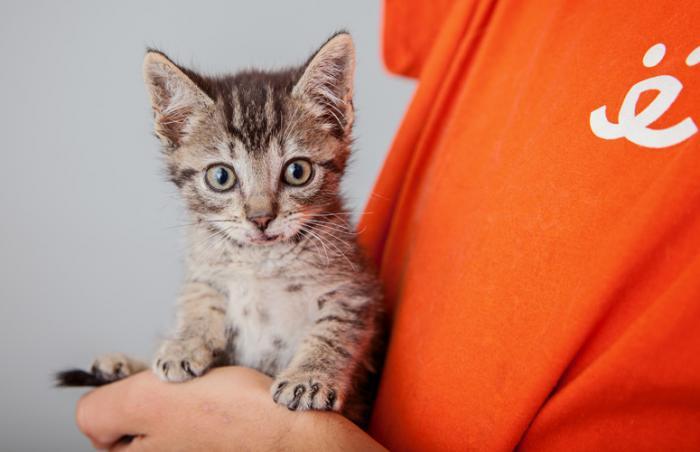 Zafar the silver tabby kitten