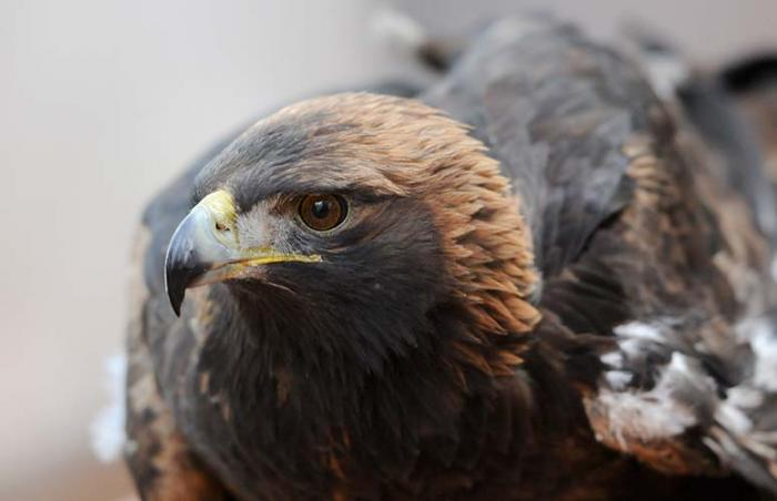 A golden eagle back from the brink