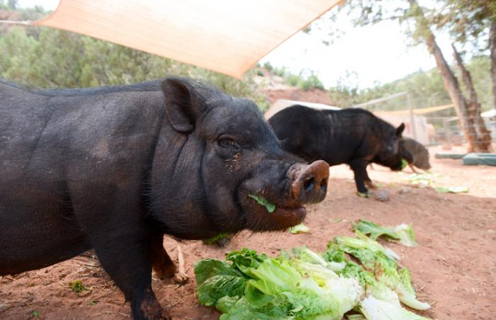 Joanna the feisty pig who had surgery, a hemilaminectomy, to repair a ruptured disc in her back