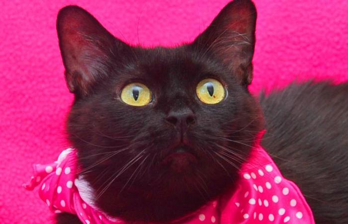 Narnia the black cat from Louisville Metro Animal Services