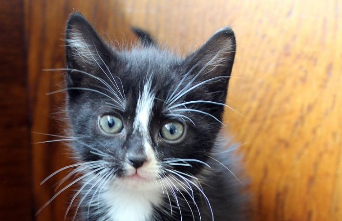 Mika the tuxedo kitten from Animal Care & Control of NYC who was adopted during the Christmas season