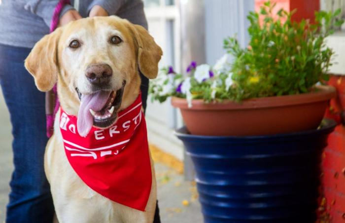 happy golden Labrador with a red bandanna