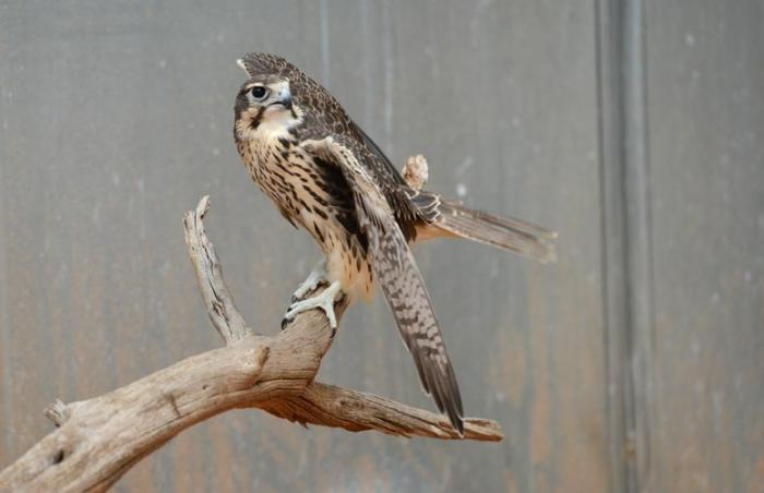 The rescued peregrine falcon in rehab at Best Friends Animal Sanctuary