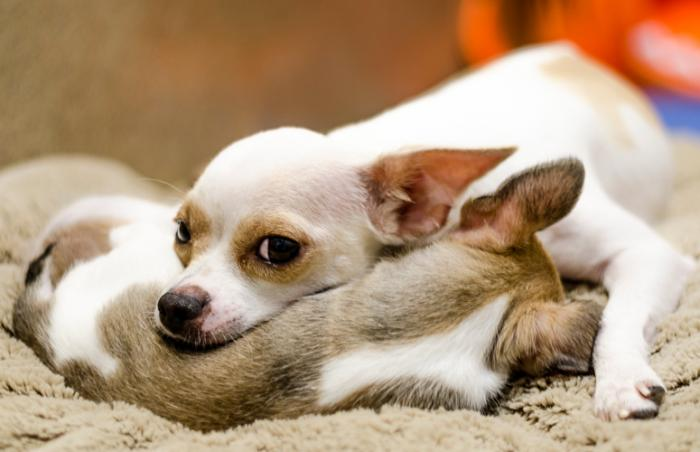 Pinky the Chihuahua and one of her pups