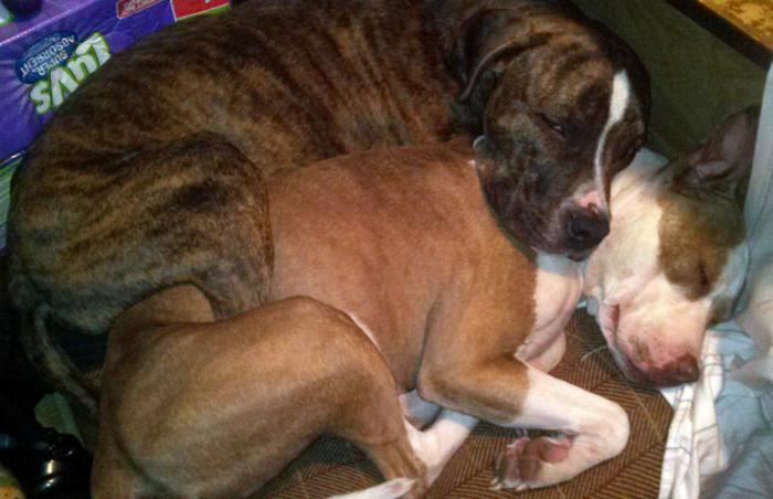 Cash and Aries the fixed dogs snuggle together