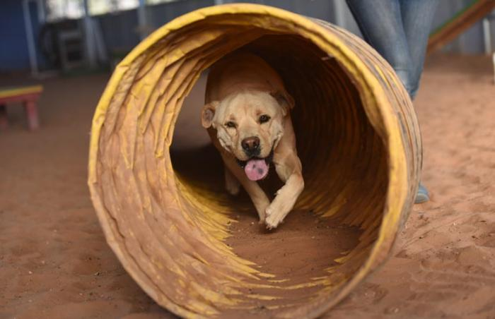 Tig the dog running through a tube as part of his agility training, which is helping him with impulse control