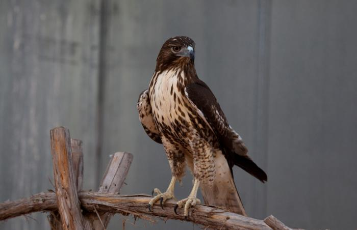 Swainson's hawk receives help at Best Friends