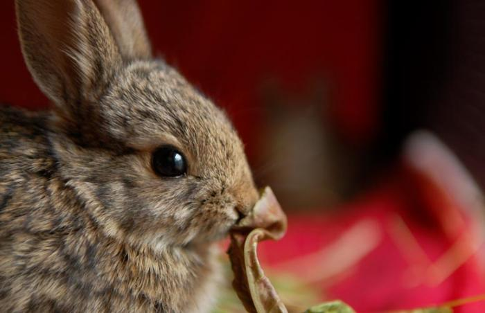 An injured baby rabbit receives rehabilitation at Best Friends