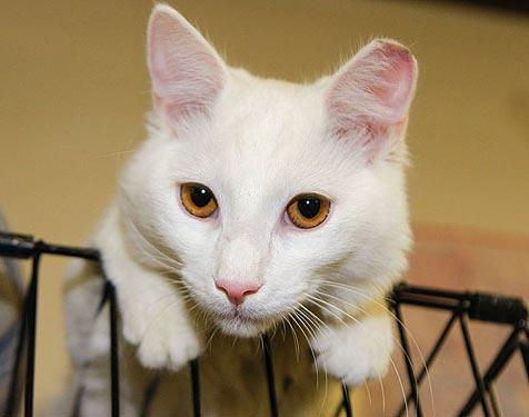 All-white cat with pinkish ears who was spayed and vaccinated as part of the Feral Freedom TNR program in Jacksonville, Florida