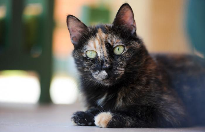 Korki Torti the tortoiseshell cat from Lebanon at Best Friends