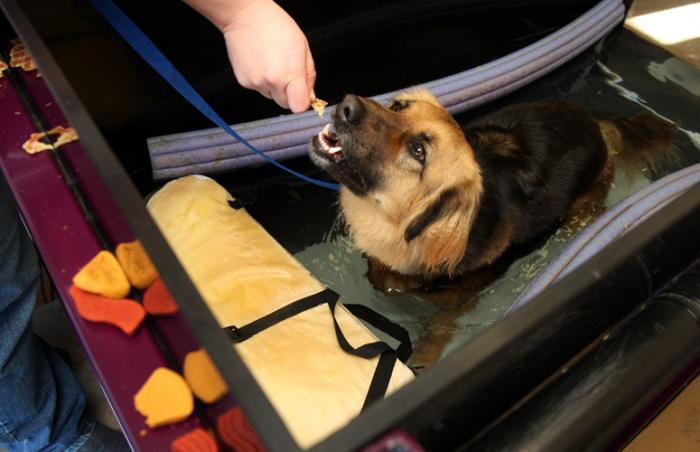 Lassie the dog in hydrotherapy at Best Friends