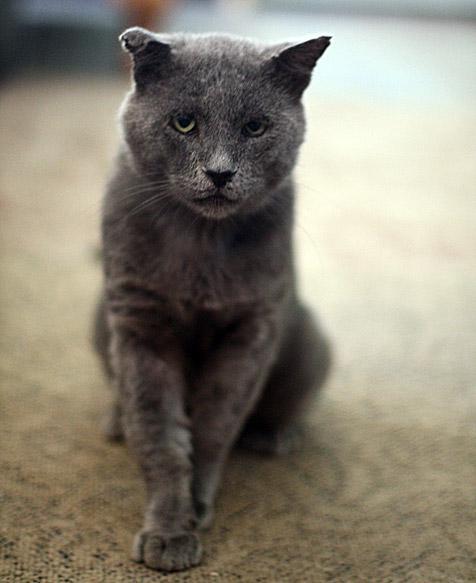 Tomcat named Trixie who is part of Albuquerque TNR program