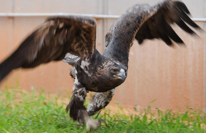 Sia the golden eagle