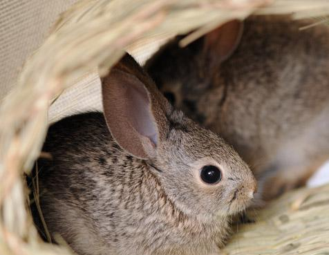 Three Cottontails saved after mishaps
