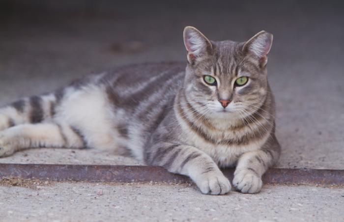 Ear-tipped cat from TNR effort in Southern Utah