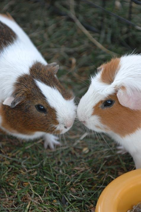 Guinea pigs on the grass enjoying some enrichment