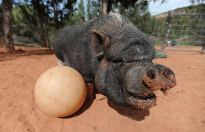 Cherry the pig is having a ball