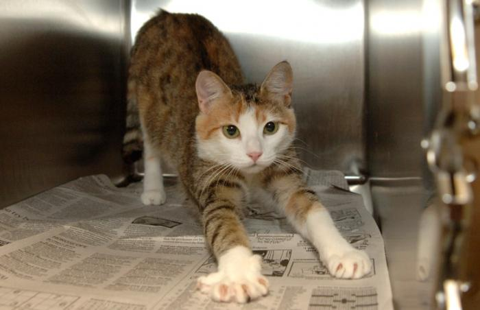 Cat ready to be fixed at First Coast No More Homeless Pets