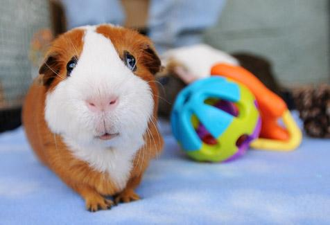 Guinea pig with toys