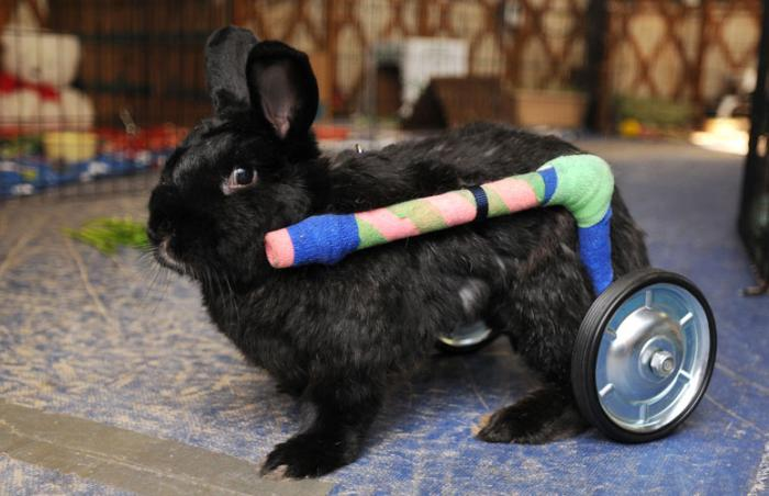Fargo the bunny in a wheelchair