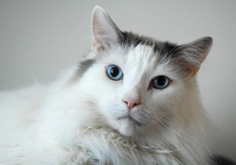 Cat with urinary tract problem (FLUDT)