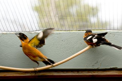 Two male black-headed grosbeaks