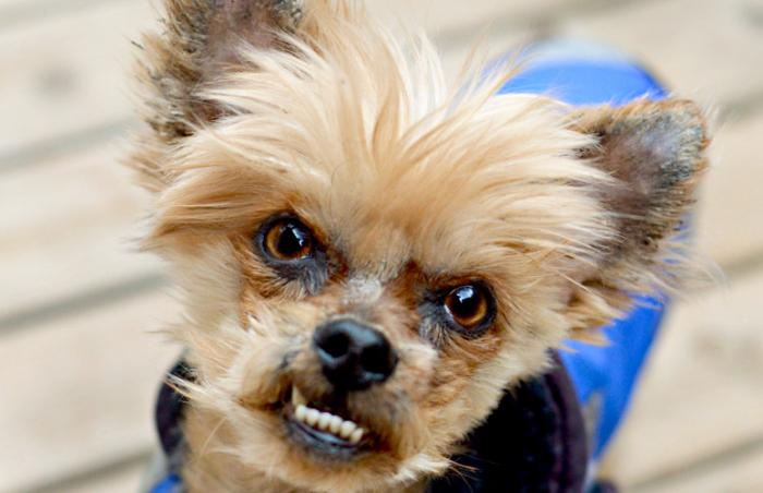 Gus Gus the Yorkie dog rescued from a puppy mill
