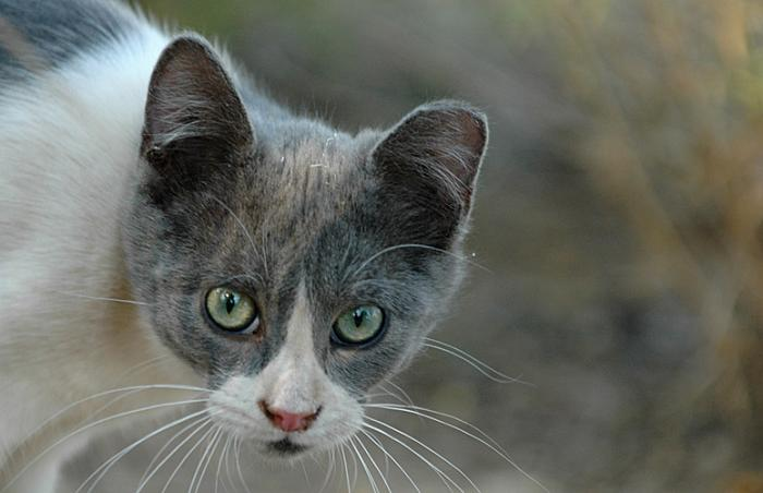 Feral cat who has undergone trap-neuter-return (TNR)