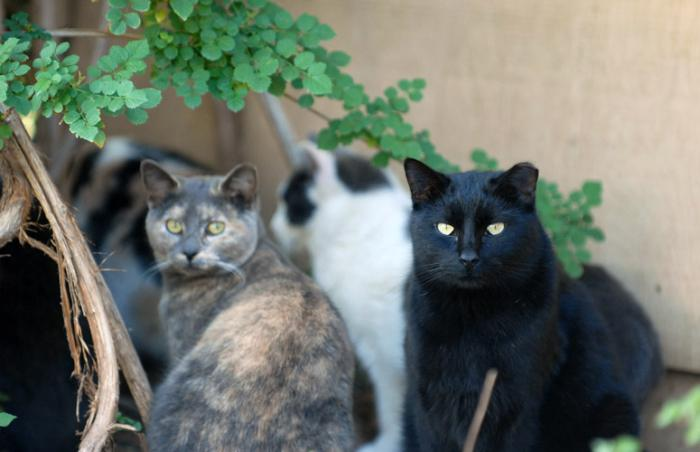 Ear-tipped free-roaming cats who are part of the DeKalb County TNR program