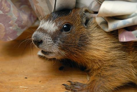 Marmot who was sick from eating rat poison