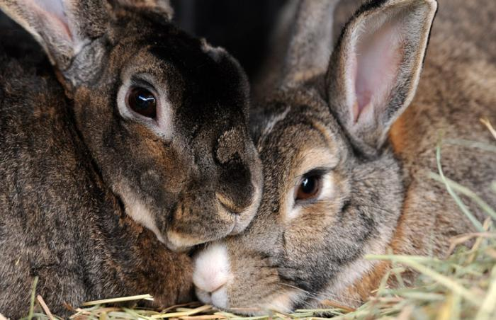 Nancy and Olivia the rabbits rescued from the Long Beach City College campus and brought to Best Friends Animal Sanctuary