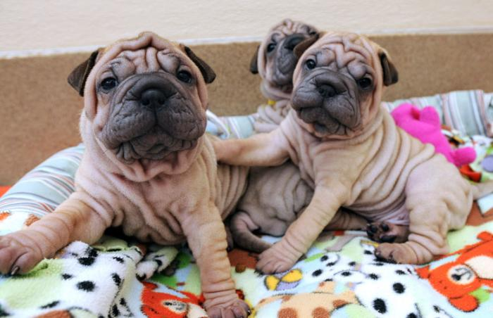 Trio of Ori-Pei puppies