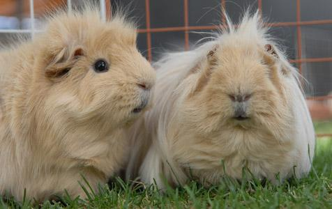 Guinea pigs named Peanut and Butter