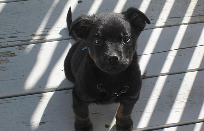 Nova the black Labrador retriever mix as a puppy